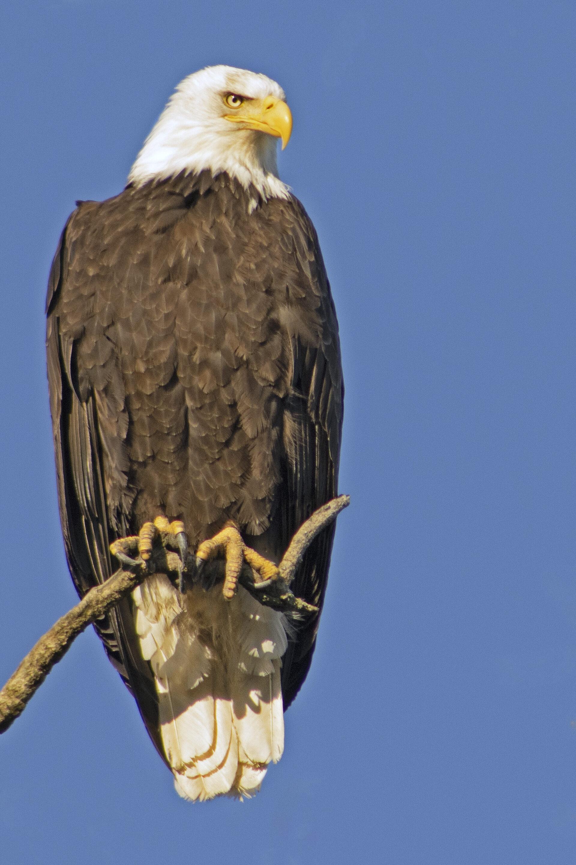 Bald Eagle, April 17, 2021