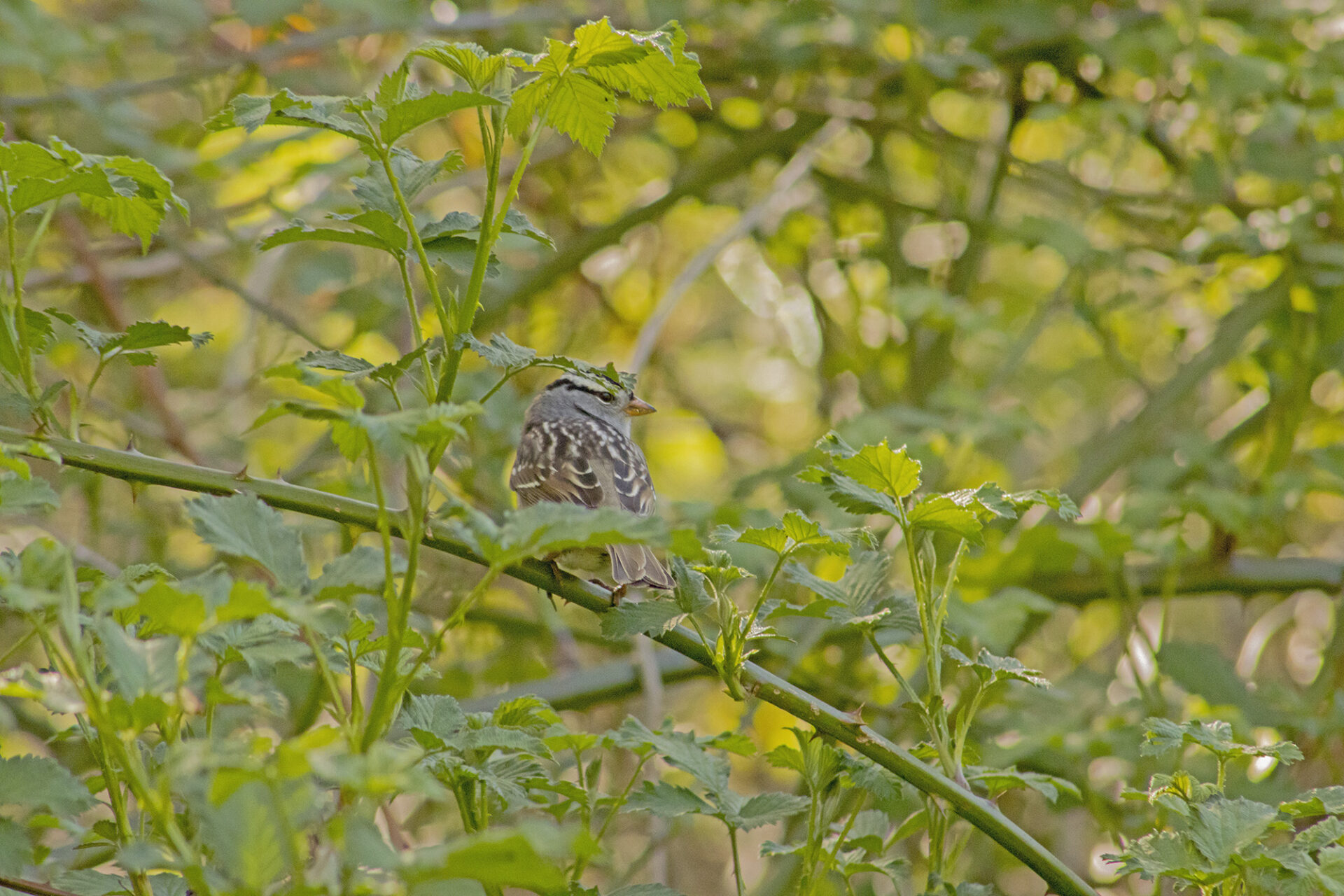 White-Crowned Sparrow, April 19, 2021