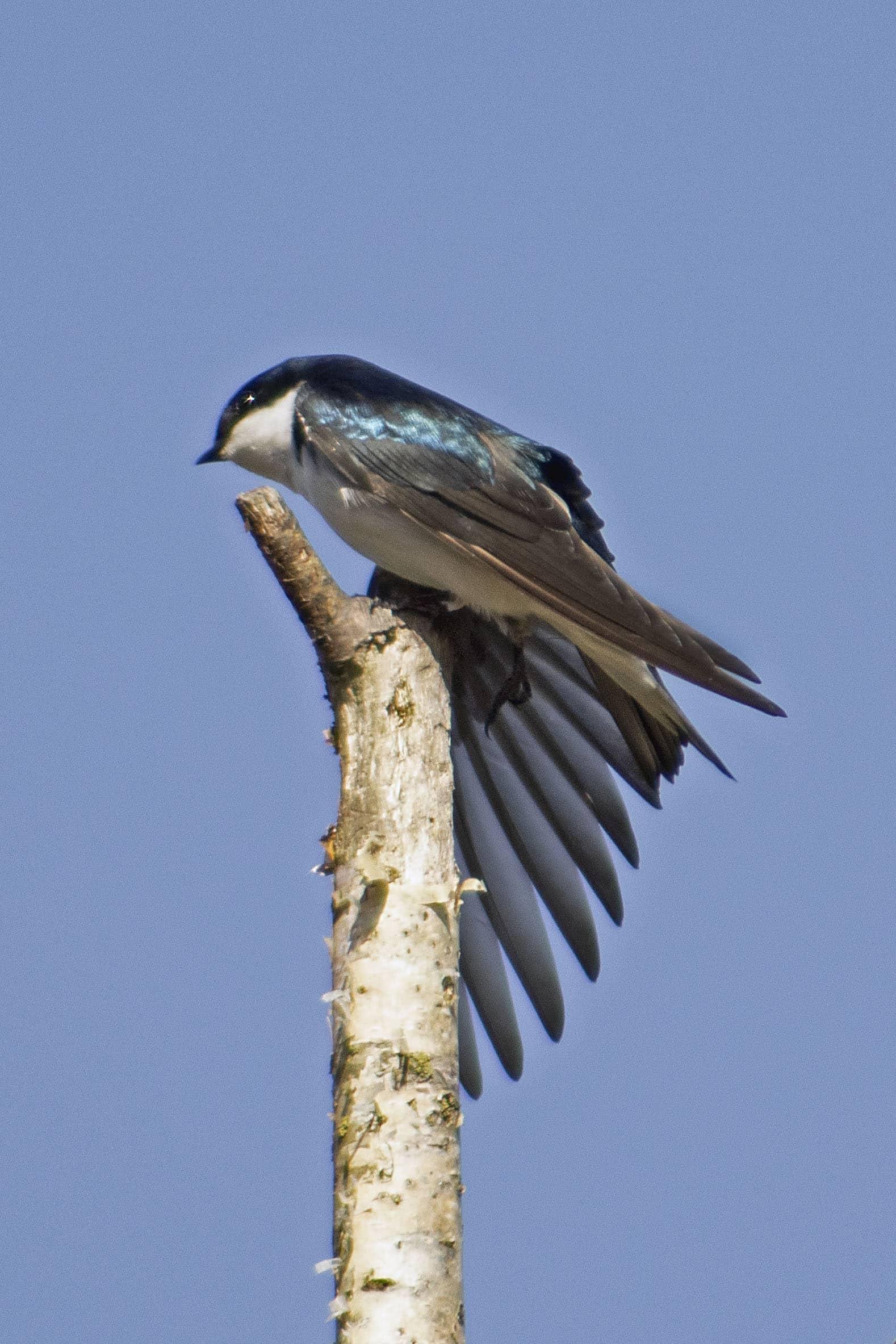 Tree Swallow, April 5, 2021