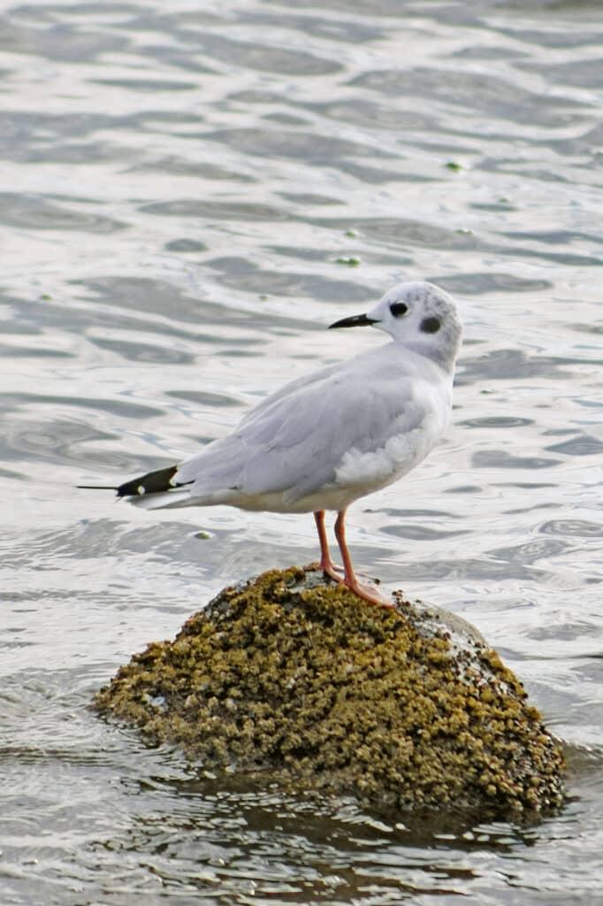 Non-breeding Bonaparte's Gull, August 15, 2021