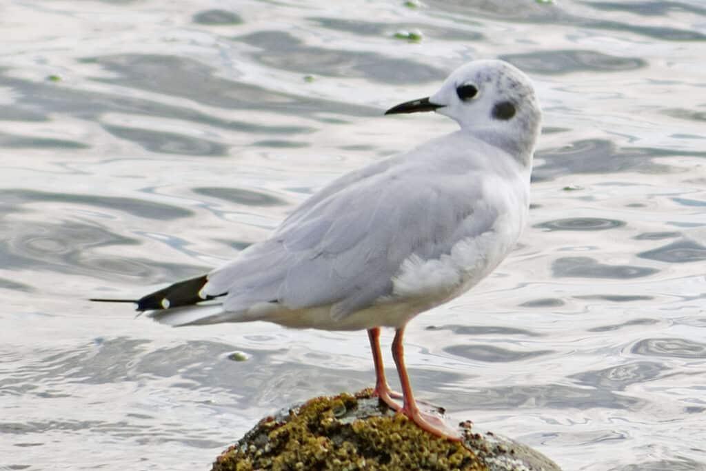 Bonaparte's Gull, August 15, 2021
