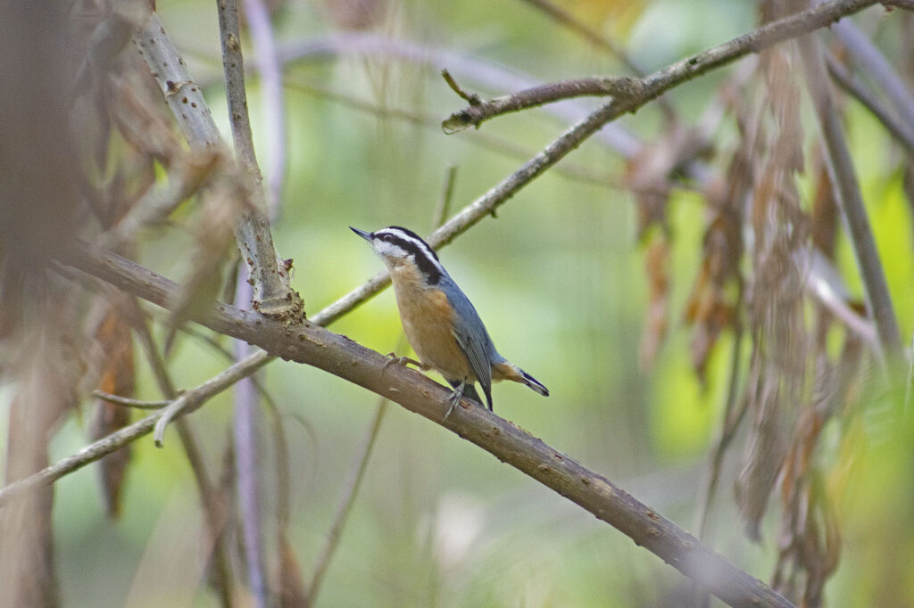 Red-breasted Nuthatch, August 16, 2021