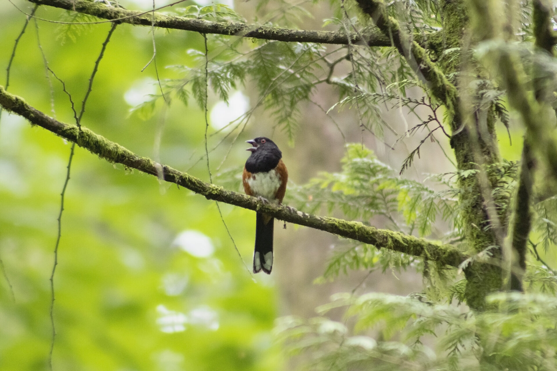 Spotted Towhee, July 1, 2021