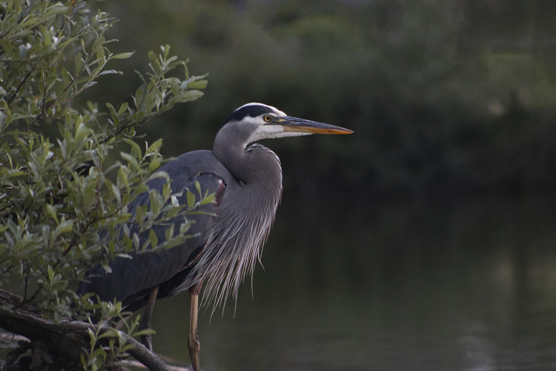 Great Blue Heron, July 1, 2021