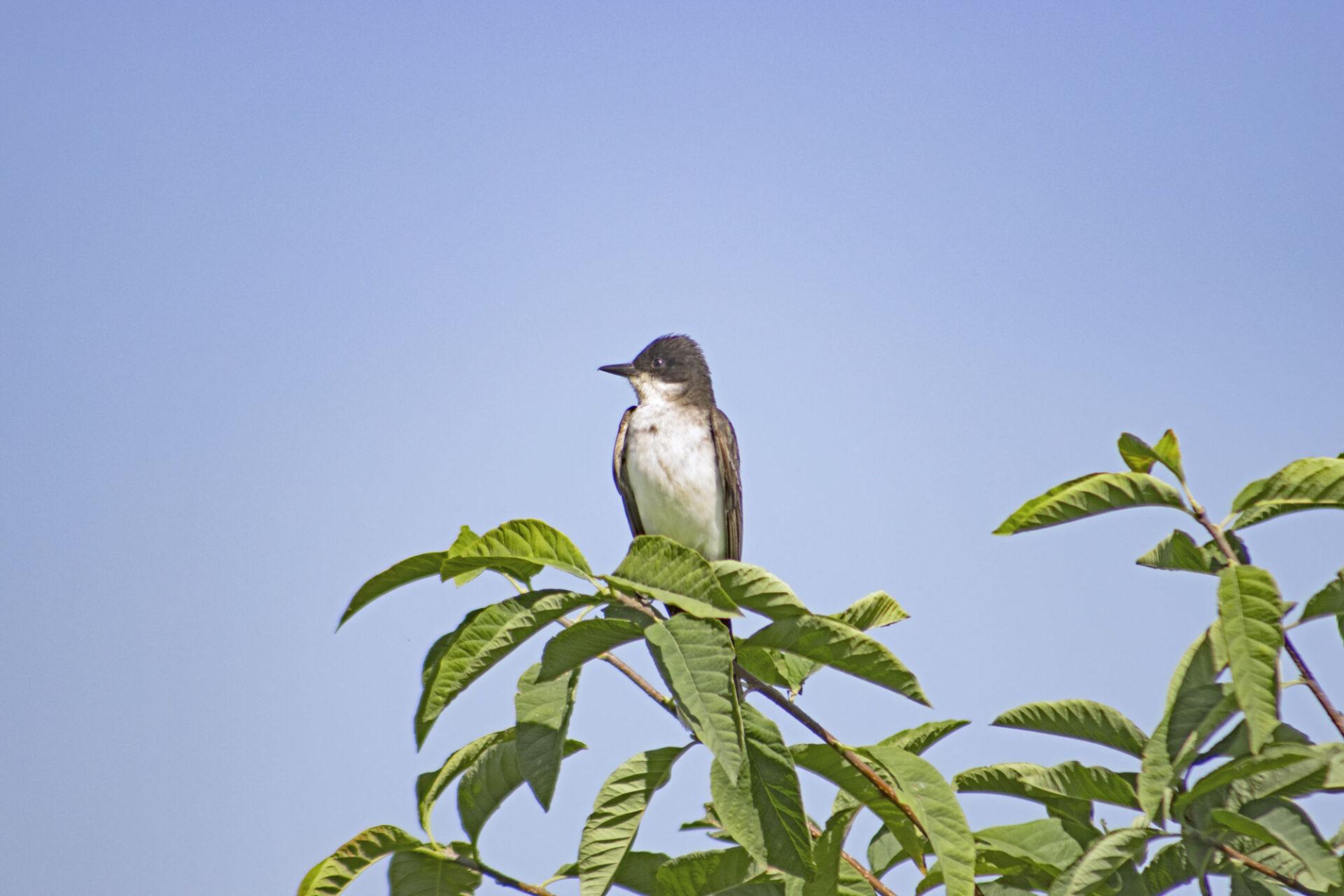 Eastern Kingbird, July 19, 2021