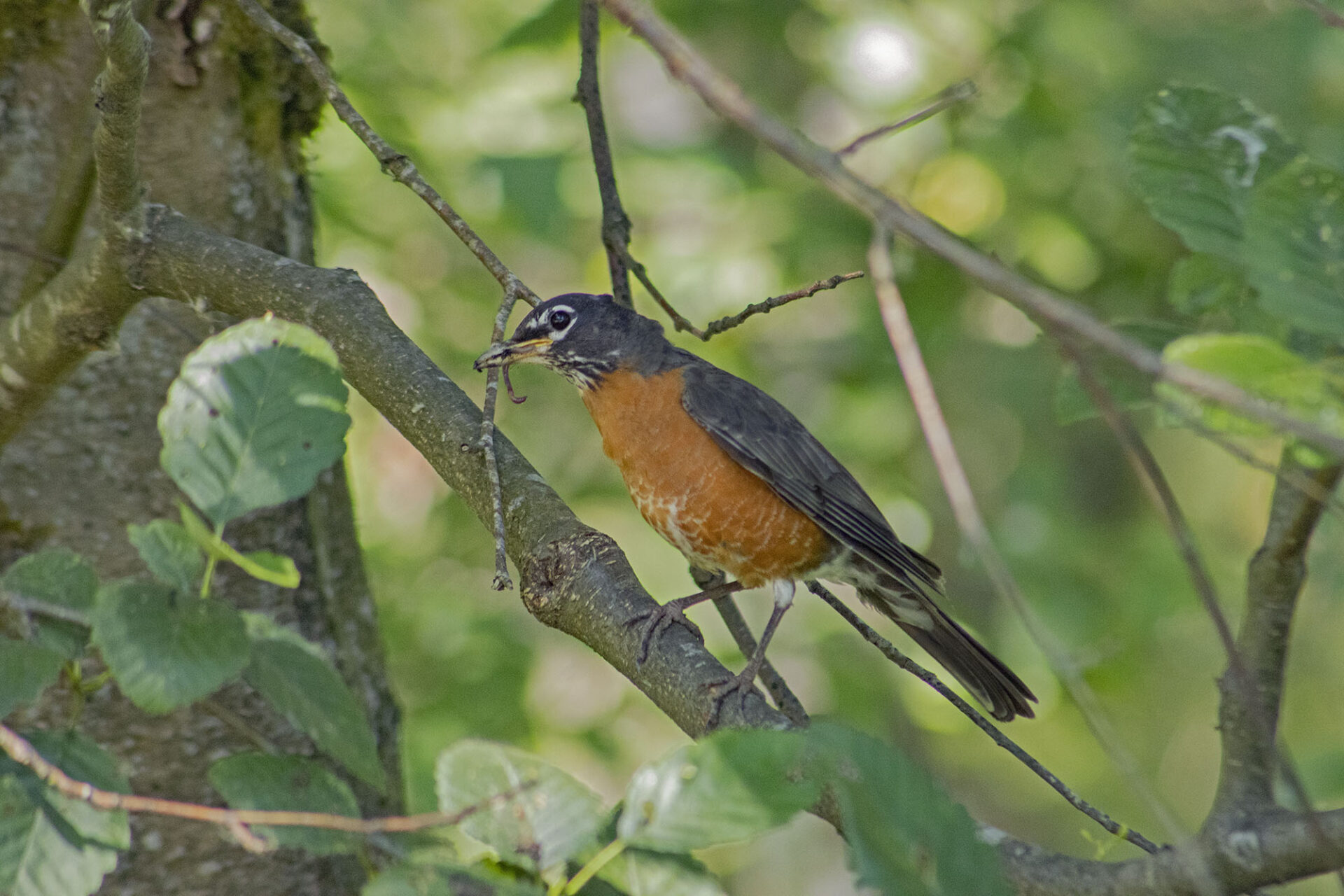 American Robin Eating a Worm, July 19, 2021