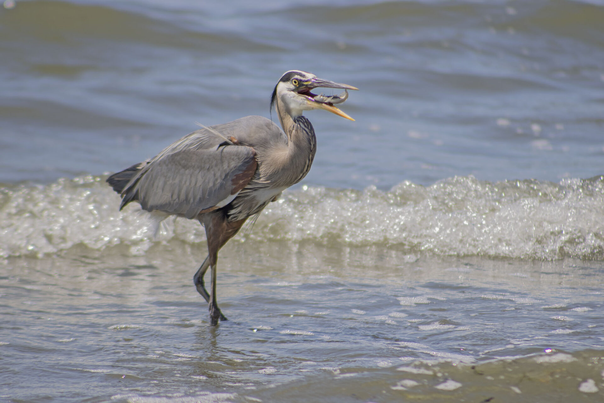 Great Blue Heron, July 19, 2021