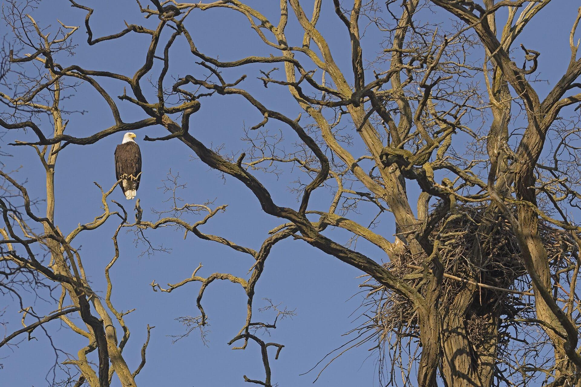 Bald Eagle and Nest, April 17, 2021