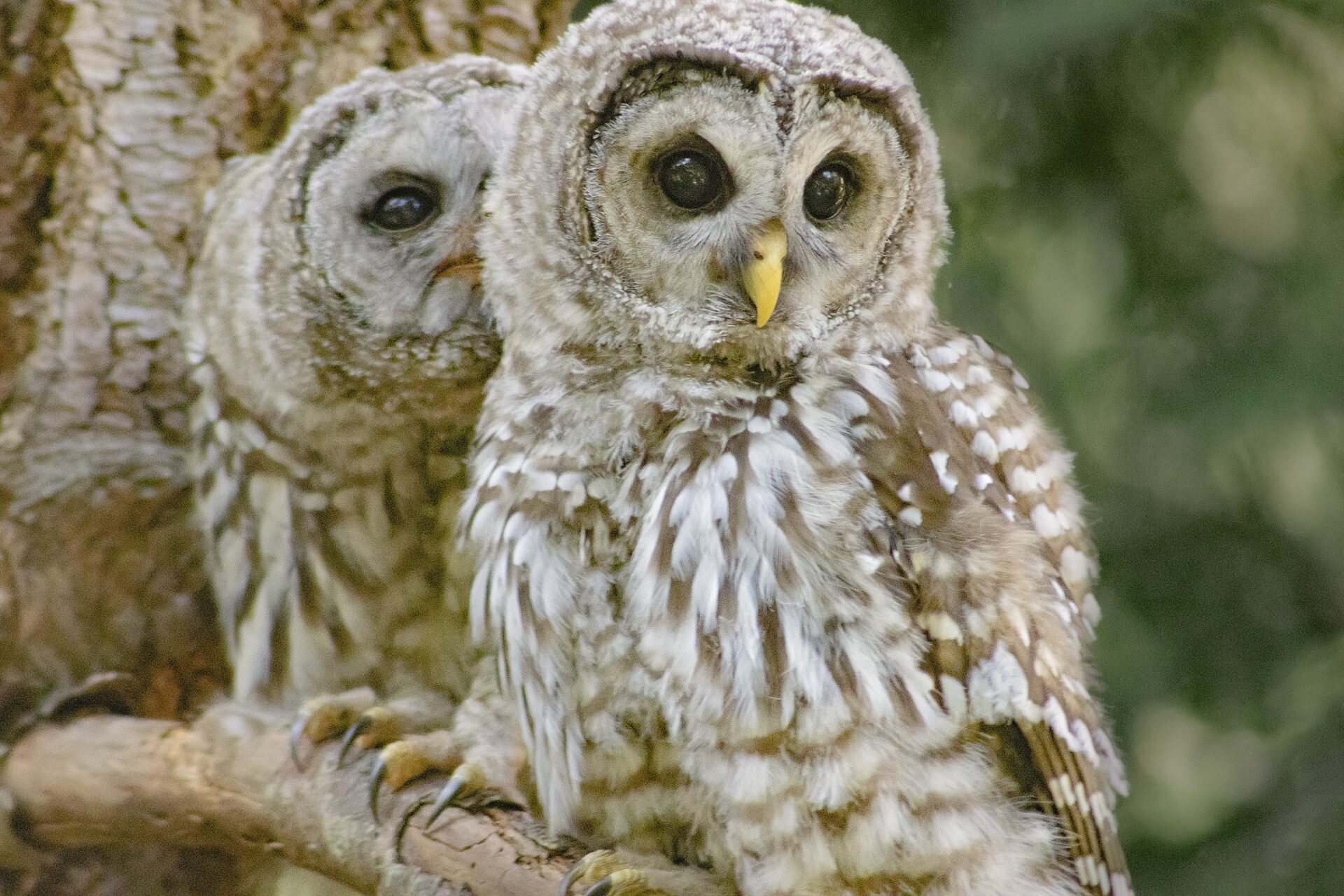 Barred Owlets, July 15, 2021