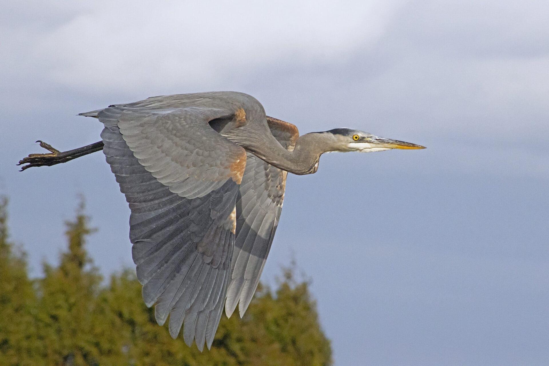 Great Blue Heron in Flight, March 26, 2021