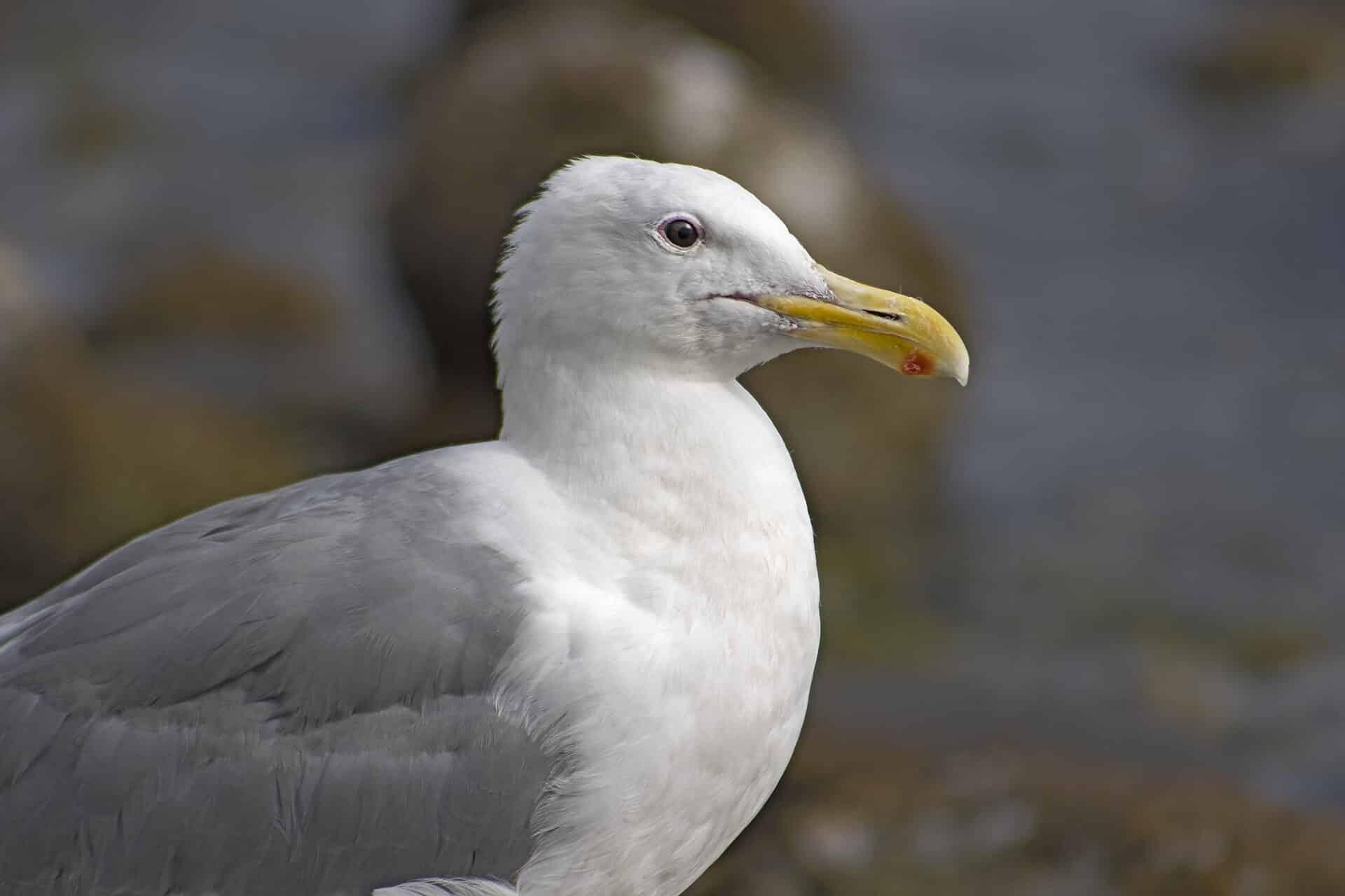 Seagull, August 15, 2021