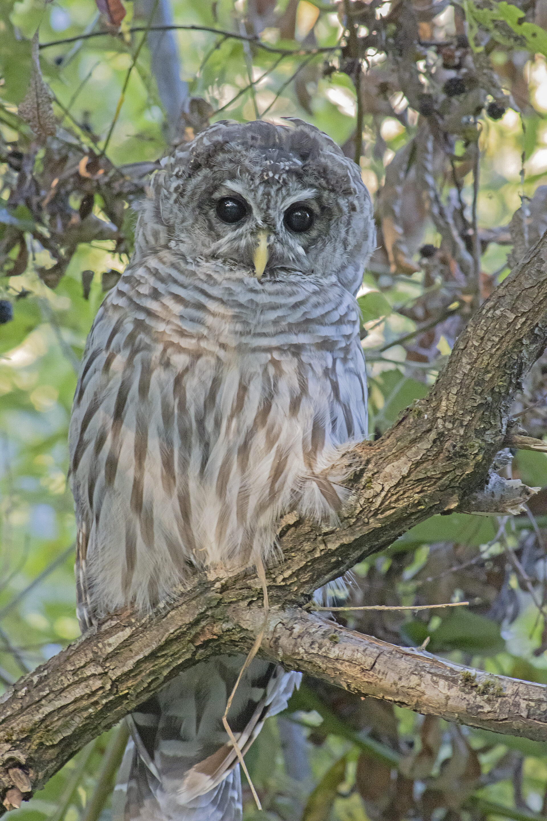 Barred Owl, August 23, 2021