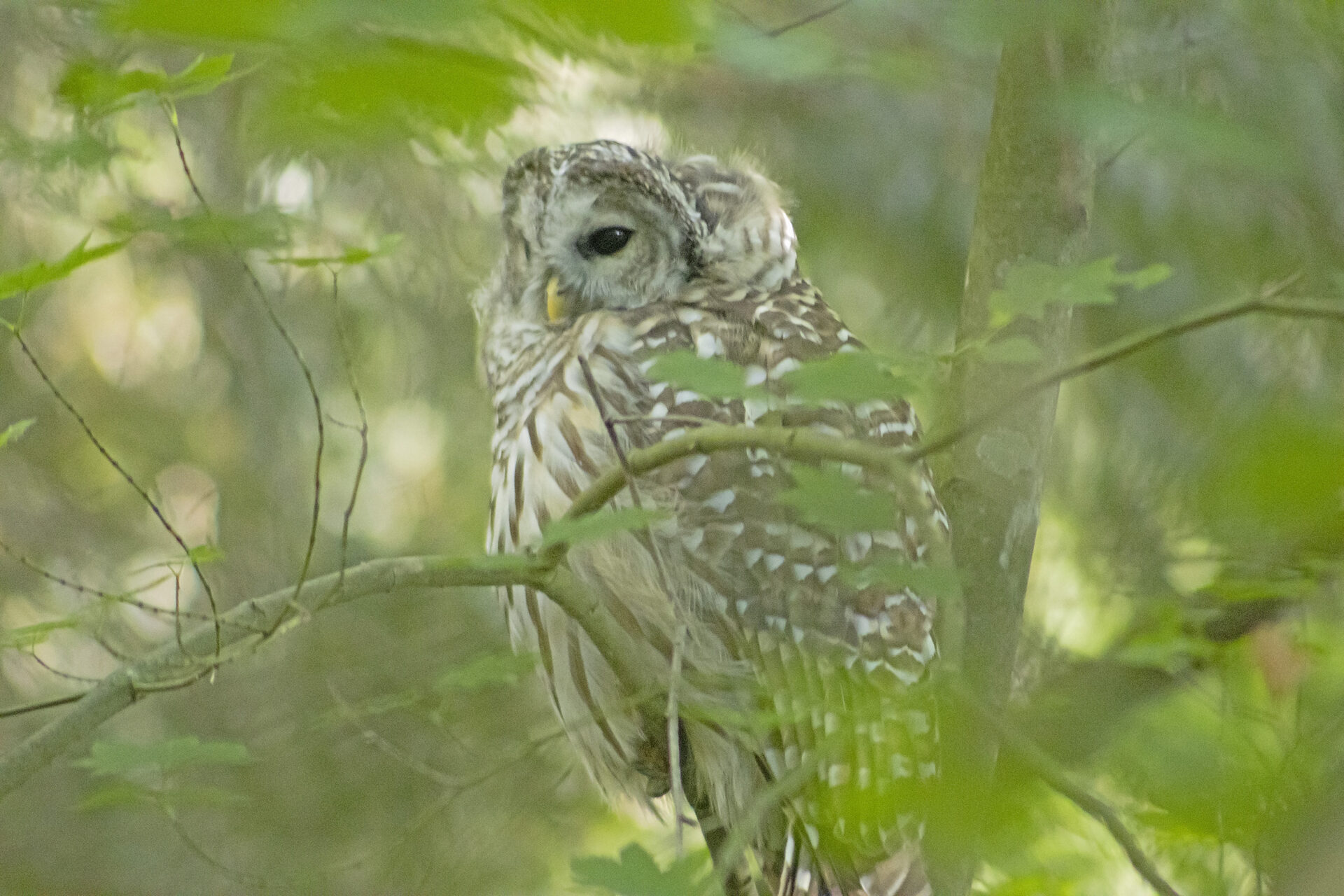 Barred Owl, August 31, 2021
