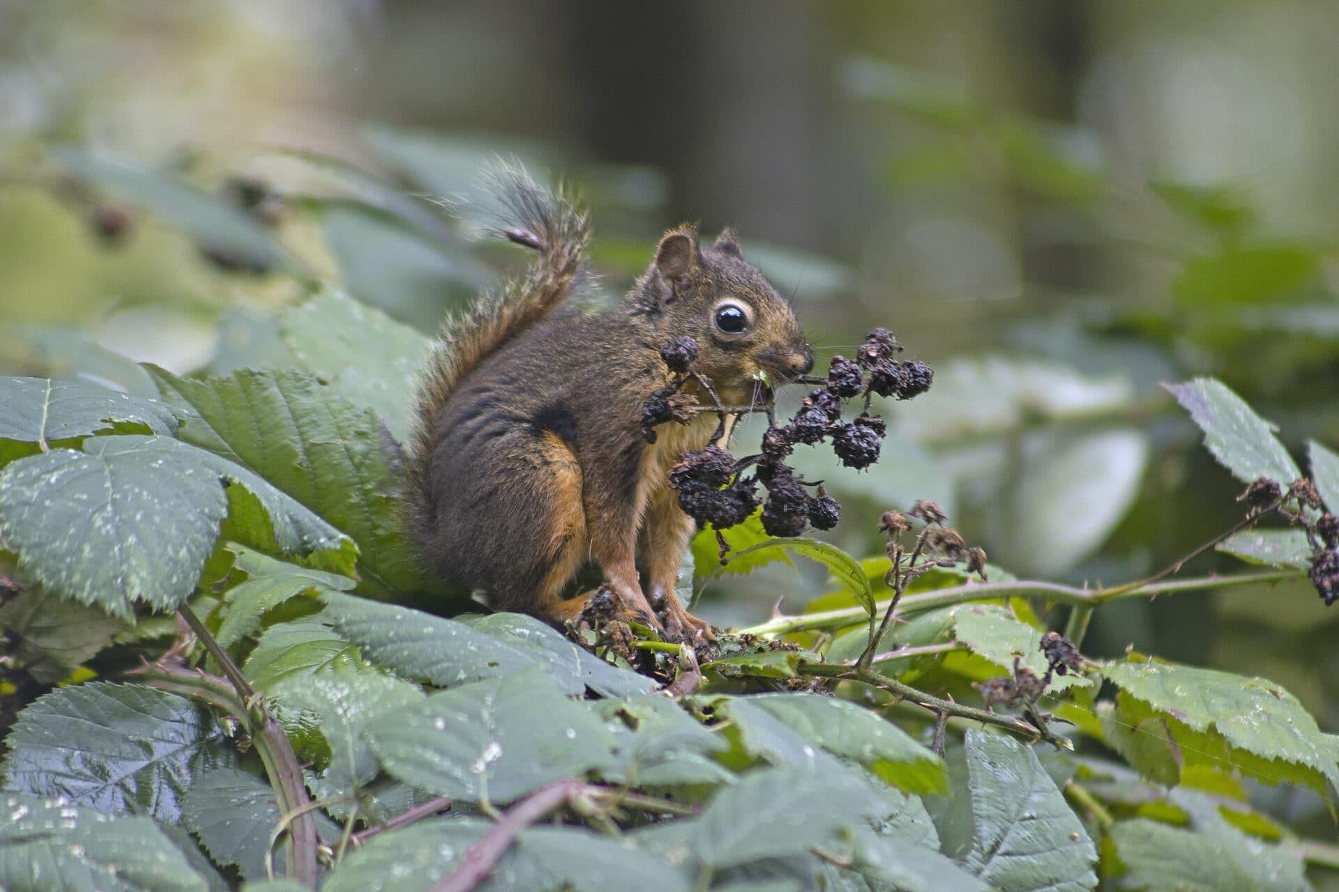 Douglas Squirrel, October 13, 2021