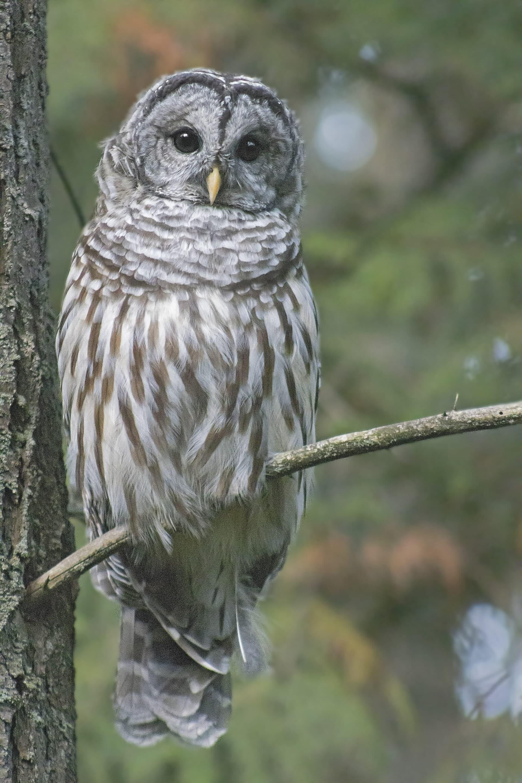 Barred Owl, September 2, 2021