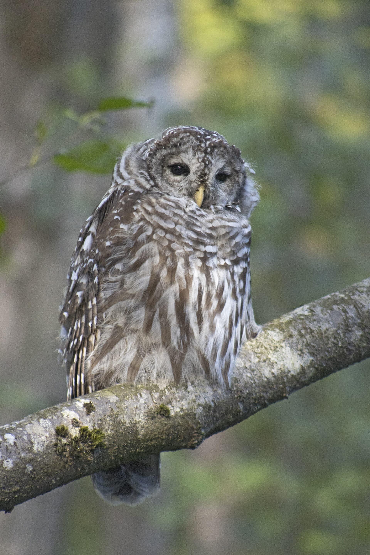 Barred Owl, September 21, 2021